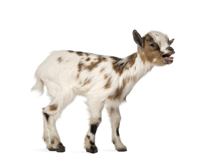 bleating: Young domestic goat bleating, kid, isolated on white