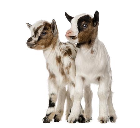 macho cabrio: Dos cabras dom�sticos j�venes, ni�os, aislado en blanco