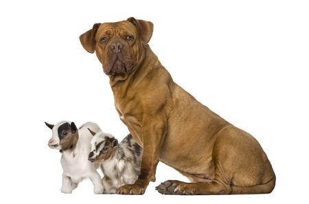 dogue de bordeaux: Young domestic goat and a Dogue de Bordeaux