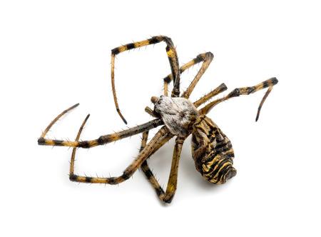 argiope: Dead Wasp spider, Argiope bruennichi,