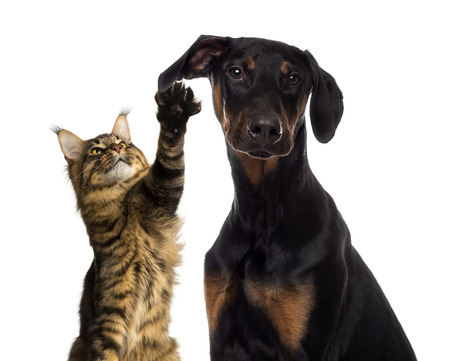 doberman: Cat pawing at a dog ear