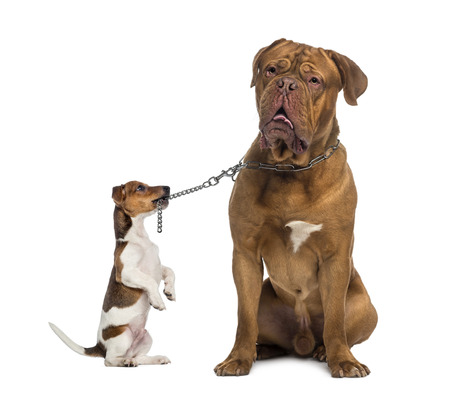 dogue de bordeaux: Jack Russell holding a Dogue de Bordeaux with a chain leash
