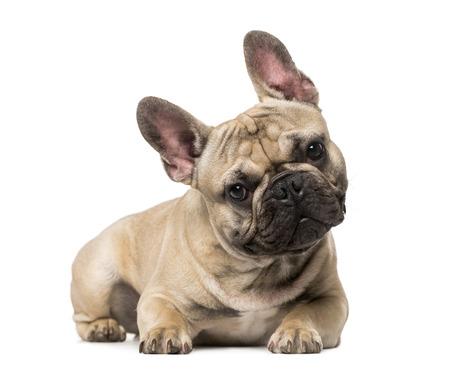 9 months old: Bulldog franc�s (9 meses) Foto de archivo