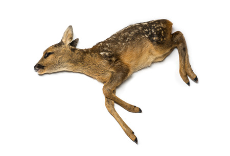 dead animal: Dead fawn Stock Photo