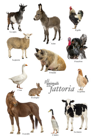 Educational poster with farm animal in Italian Stock Photo