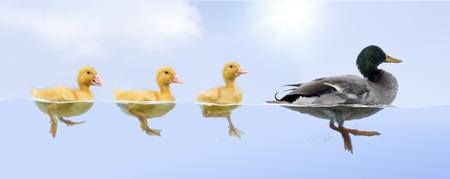 fila: Familia del pato flotando en una prima Foto de archivo