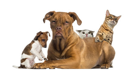 dogue de bordeaux: Cats and puppy playing and hiding behind a Dogue de Bordeaux