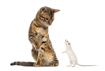 norvegicus: Bengal looking down and pawing at a rat