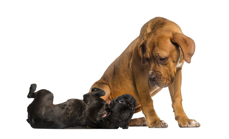 submissive: Dogue de Bordeaux looking at a French Bulldog lying
