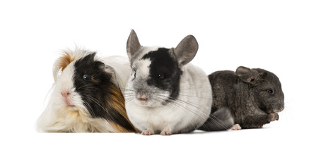 Guinea pig and Chinchillas photo