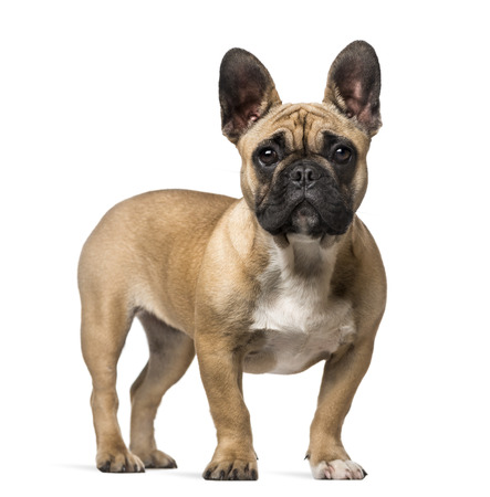 7 months: French Bulldog (7 months old)