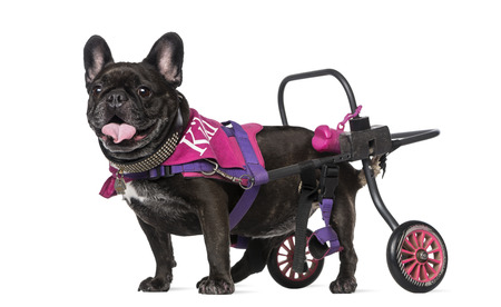 dog wheelchair: French Bulldog (7 years old) in a wheelchair Stock Photo