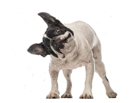 shaking out: French Bulldog (3 years old) shaking