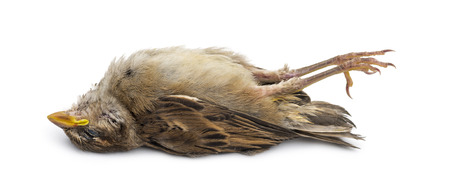 Dead House Sparrow photo
