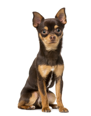 9 months old: Chihuahua (9 meses)