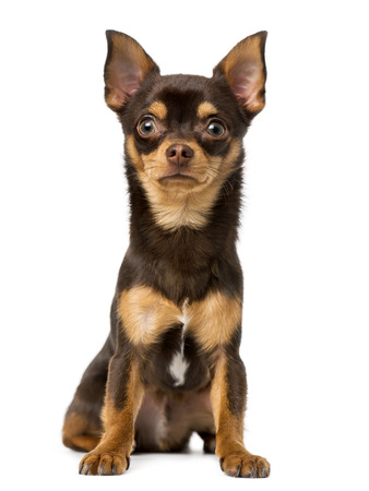 9 months old: chihuahua (9 months old) Stock Photo
