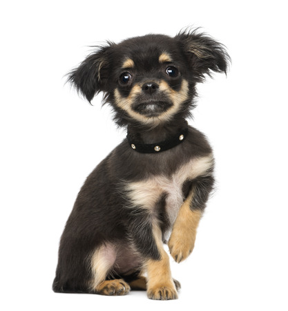 chihuahua puppy (3 months old)