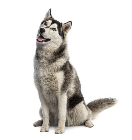 husky: Siberian husky sitting and looking up