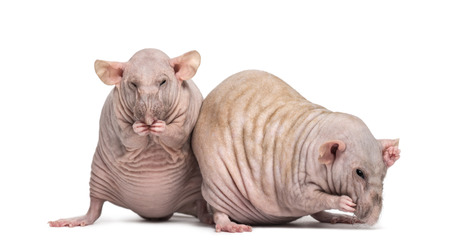 norvegicus: Two Hairless Rats (2 years old)