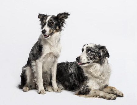 collies: Two Border collies sitting and lying