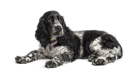 english cocker spaniel: english cocker spaniel puppy (4 months old)