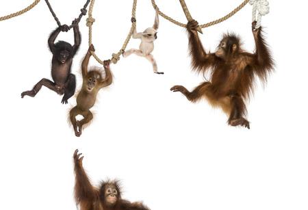 monos: Joven orangután, jóvenes Pileated Gibbon y joven Bonobo colgando de cuerdas contra el fondo blanco