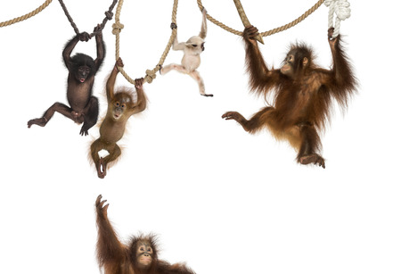 hanging on: Young Orangutan, young Pileated Gibbon and young Bonobo hanging on ropes against white background