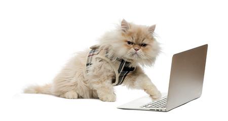 gato jugando: Patear persa en un ordenador port�til