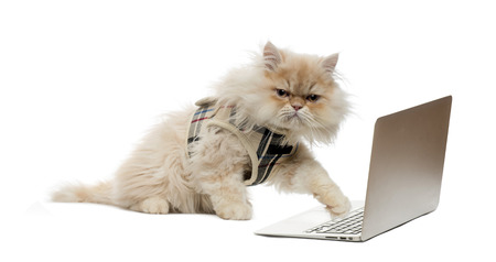 domestic cat: Persian pawing at a laptop Stock Photo