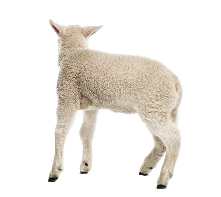 baby sheep: Lamb (8 weeks old) isolated on white Stock Photo