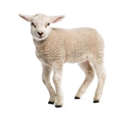 ovejas bebes: Cordero (8 semanas de edad) aislado en blanco