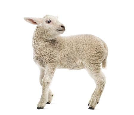 animal shot: Lamb (8 weeks old) isolated on white Stock Photo
