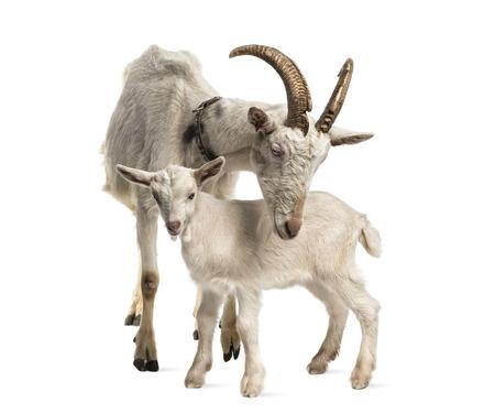 cabras: madre cabra y su niño (8 semanas de edad) aislado en blanco Foto de archivo