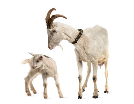 goat horns: mother goat and her kid (8 weeks old) isolated on white