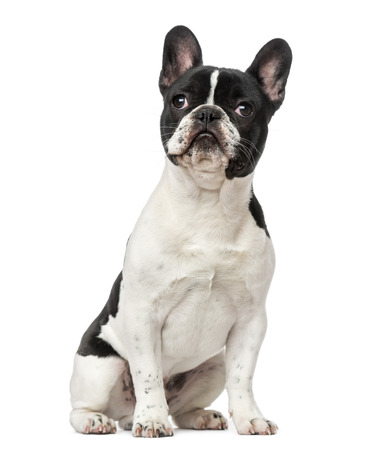 french bulldog: French Bulldog puppy (6 months old) Stock Photo