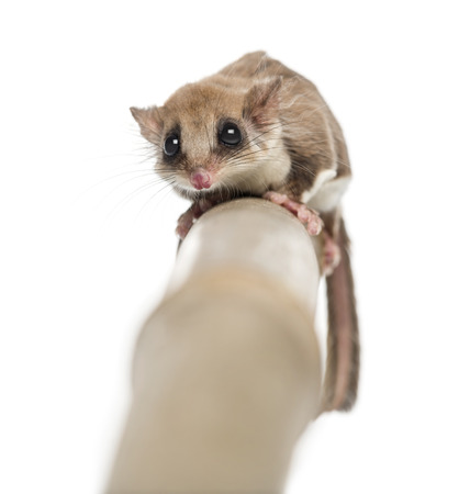 Sugar glider on a branch - Acrobates pygmaeus photo