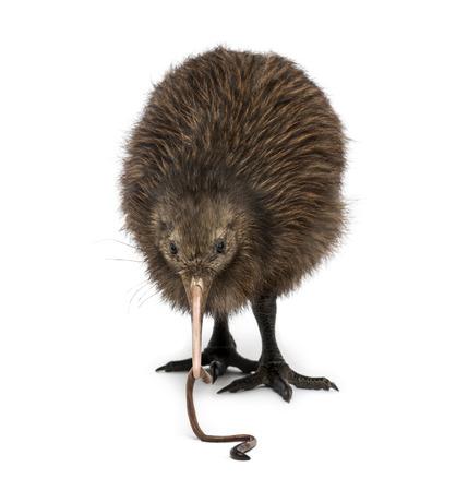lombriz de tierra: Isla Norte Kiwi marrón comiendo una lombriz de tierra Apteryx mantelli, 3 meses de edad