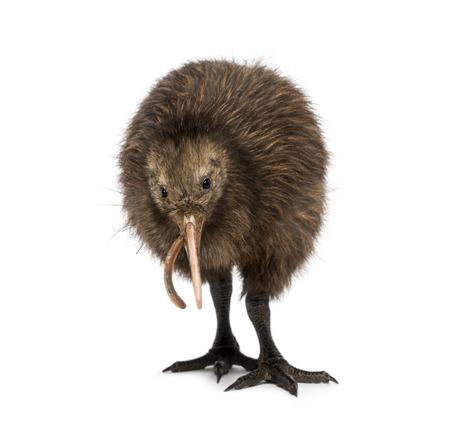 lombriz: Isla Norte Kiwi marrón comiendo una lombriz de tierra Apteryx mantelli, 3 meses de edad