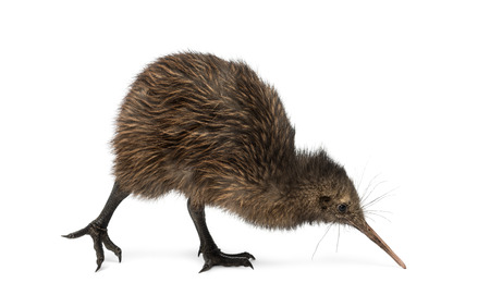 the young animal: North Island Brown Kiwi, Apteryx mantelli, 3 months old