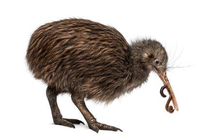 lombriz de tierra: Isla Norte Kiwi marrón comiendo una lombriz de tierra Apteryx mantelli