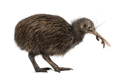 lombriz: Isla Norte Kiwi marr�n comiendo una lombriz de tierra Apteryx mantelli