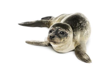 Gewone zeehond pup, geïsoleerd op wit