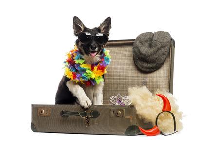 vistiendose: Border collie que se sienta en una maleta de la vendimia de edad completa de accesorios Foto de archivo