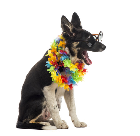 hawaiian lei: Border collie sitting and wearing sunglasses and a hawaiian lei