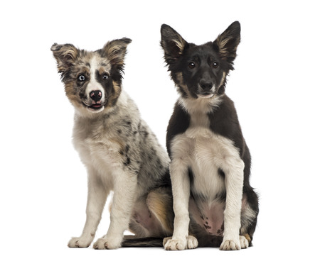 collies: Two Border collies
