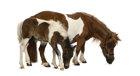 headcollar: shetland and foal - 9 years old-1 month old