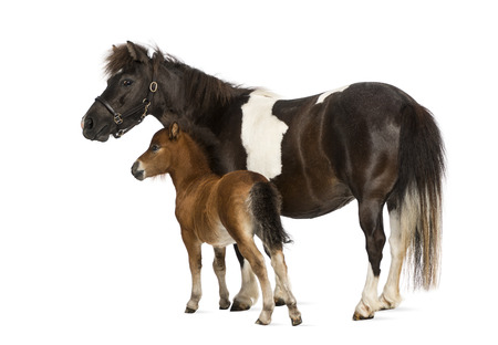headcollar: shetland and foal- 12 years old-1 month old