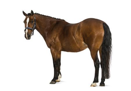 Welsh Pony - 17 years old, Equus ferus caballus Stock Photo