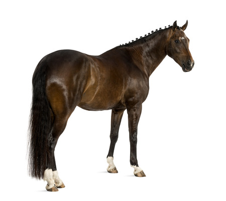 warmblood: KWPN - Dutch Warmblood, 3 years old - Equus ferus caballus