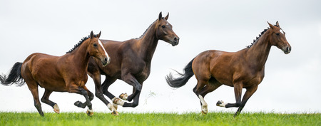 galloping: Horses galloping in a field